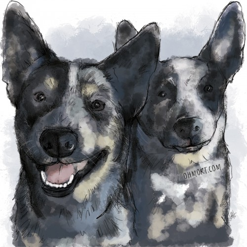 Two blue heelers illustrated